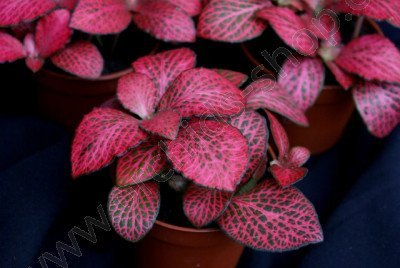 Fittonia Mosai Pink Diamond