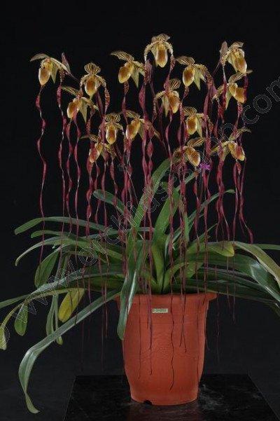 Paphiopedilum sanderianum 'Big'