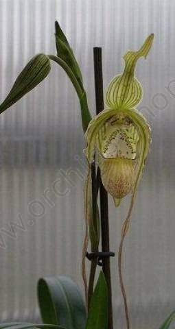 Phragmipedium pearcei x wallisii