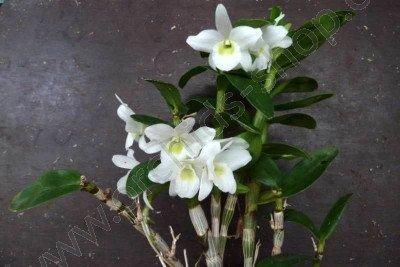 Dendrobium Hybrid `pocket lover`