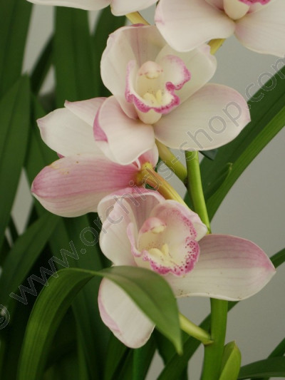 Cymbidium Great Flower `Marie Laurencin`