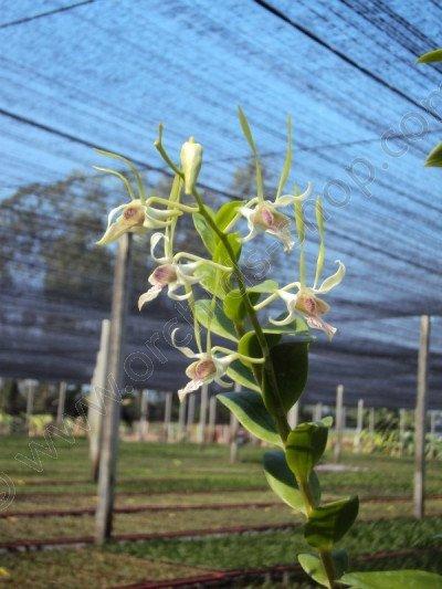 Dendrobium antenatum