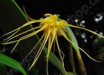 Bulbophyllum vaginatum