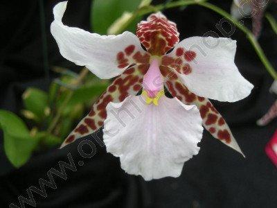 Lemboglossum rossii