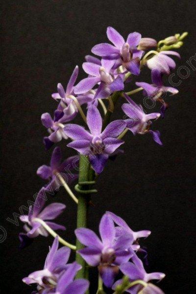 Doriteanopsis Purple Gem `Aida`