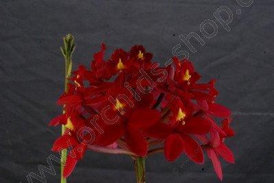 Epidendrum Red Dragon
