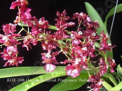 Oncidium Jairak Fragrance 'Indrajit'