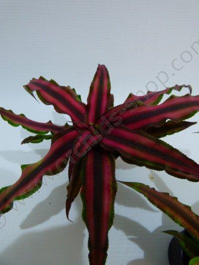 Cryptanthus bivittatus`Red`