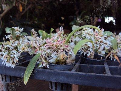 Dendrobium peguanum