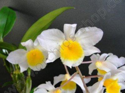 Dendrobium farmeri 'White'