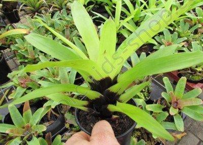 Vriesea erythrodactilon