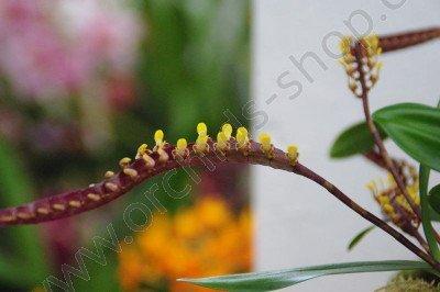 Bulbophyllum falcatum