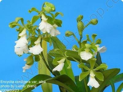 Encyclia cordigera alba