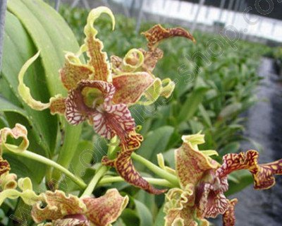 """Dendrobium spectabile """"Big"""""""