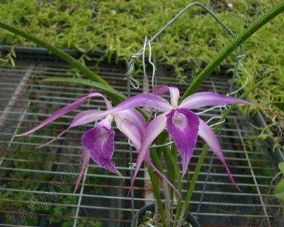 Brassavola cucullate x L. purpurata