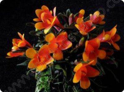 Dendrobium cuthbersonii bicolor