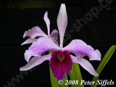 Laelia purpurata var Striata 'Big'