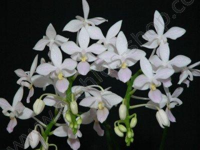 Phalaenopsis equestris semi alba