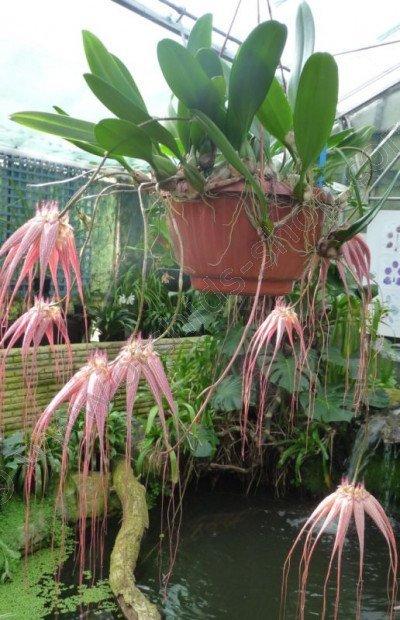 Bulbophyllum Elisabeth Ann Buckelberry