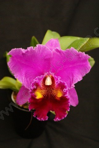 "Blc. China Lady ""Orchis"""