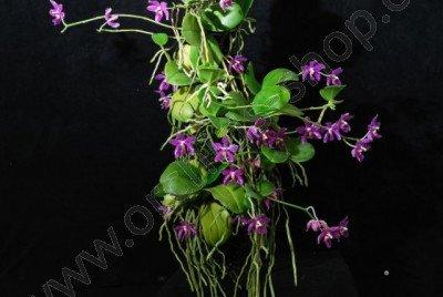 Phalaenopsis pulchra