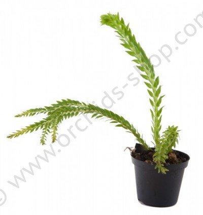 Lycopodium phlegmarioides