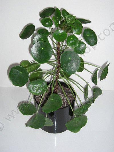 Pilea peperomioides (pannenkoekenplant)