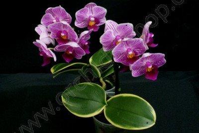 Doritaenopsis Sogo Vivien `Golden Vivien`