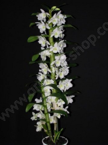 Dendrobium Star Class