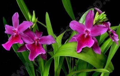 Miltonia Honolulu