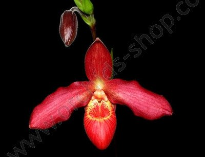 Phragmipedium Memoria Dick Clements