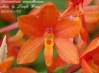 Ascocentrum ampullaceum `Orange`