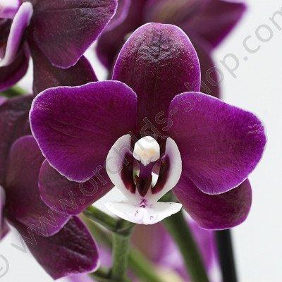 Phalaenopsis Kaoda Twinkle 'Chocolate Drops' AM/AOS