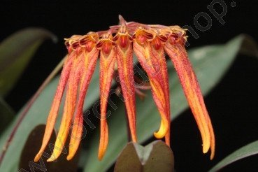 Bulbophyllum farreri (Orange/Yellow)