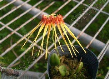 Bulbophyllum hirundines