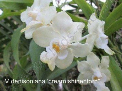 Vanda denisoniana 'Cream Shinentorn' Big