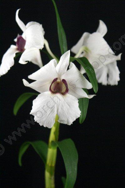 Dendrobium sanderae var majo