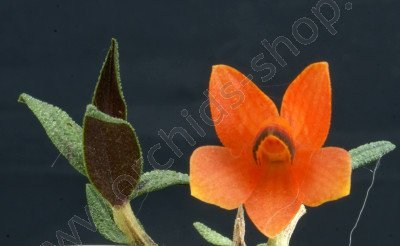 Dendrobium cuthbersonii `Orange`