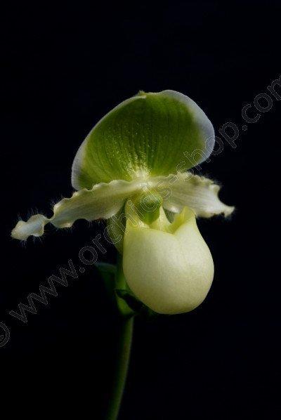 Paphiopedilum primulinum hybrid