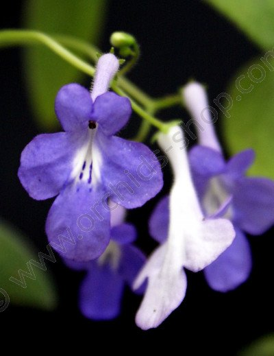 Streptocarpus Concord Blue