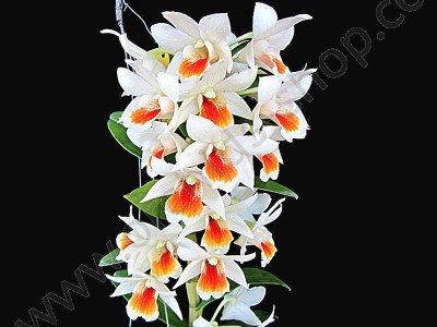 Dendrobium Dawn Maree 'Big'