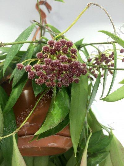 Hoya gracilis