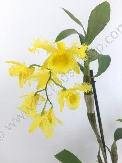 Dendrobium harveyanum 'Big'