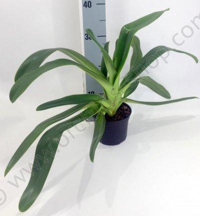 Paphiopedilum praestans x P. philippinense