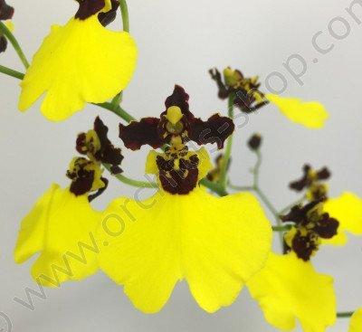 Oncidium varicosum 'Balduin Black'