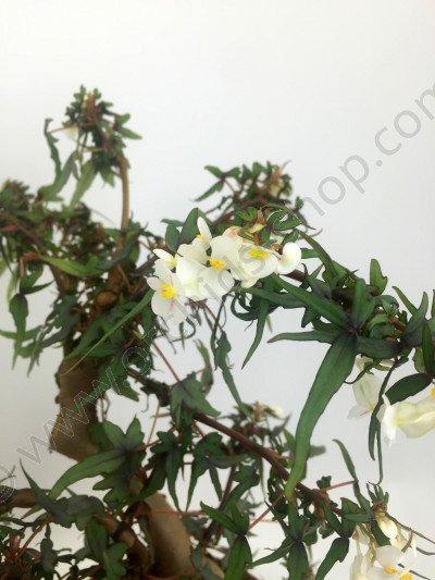 "Begonia partita ""Small"""