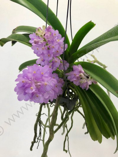 Rhctm. Lilac Blossom  light blue