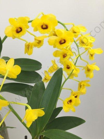 Dendrobium chrysotoxum suavissima