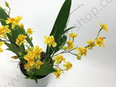 Oncidium Twinkle Yellow