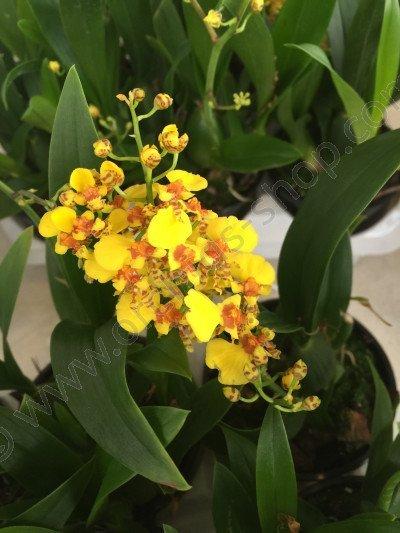 Oncidium varicosum hybrid
